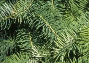 Image result for jedlové větve